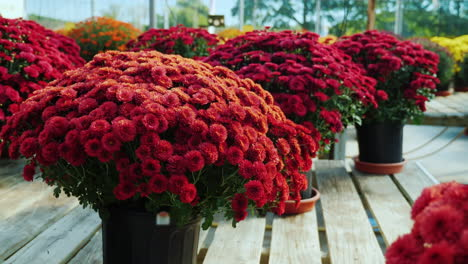 Pots-of-Red-Chrysanthemums