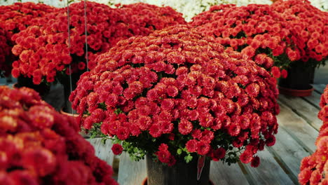 Red-Chrysanthemums-in-Commercial-Greenhouse