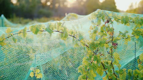 Protective-Net-on-Grape-Vines