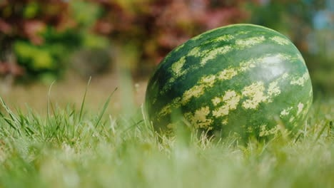 Large-Watermelon-on-Grass