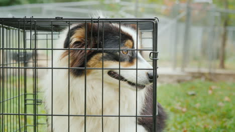 Australian-Shepherd-Dog-in-Cage