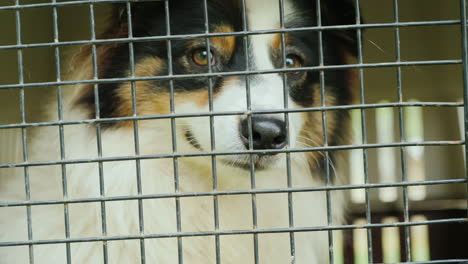 Australian-Shepherd-Dog-Behind-Bars