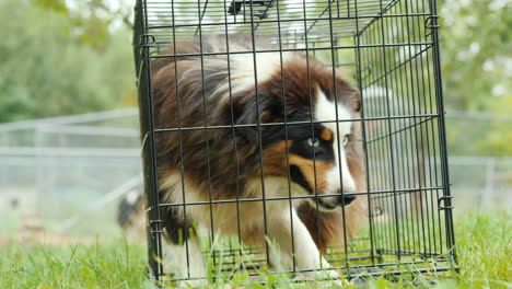 Big-Dog-in-Small-Cage