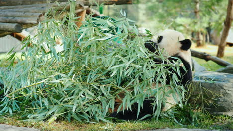 Panda-Bear-Eating-Bamboo