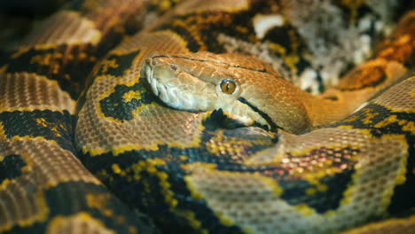 Giant-Reticulated-Python