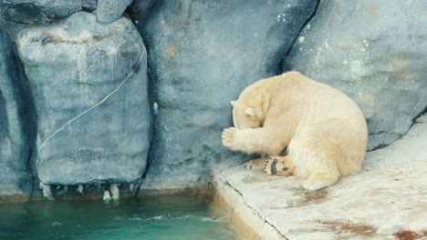 Polar-Bear-Washes-His-Face