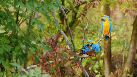 Two-Blue-Parrots-on-a-Branch