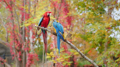 Red-and-Blue-Parrots-on-a-Branch