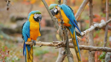 Blue-Parrots-on-a-Branch