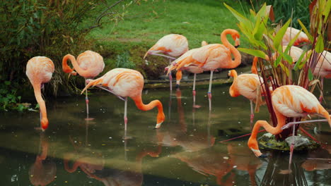 American-Flamingos-in-a-Pond
