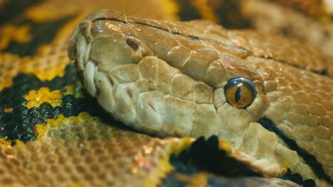 Python-Head-Close-Up