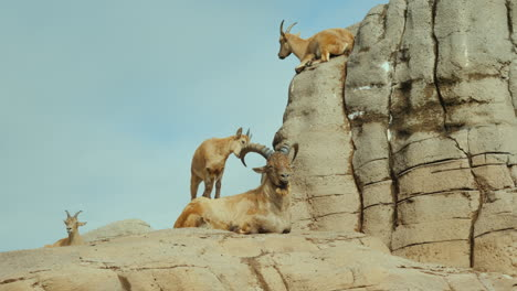 Goats-on-a-Rock