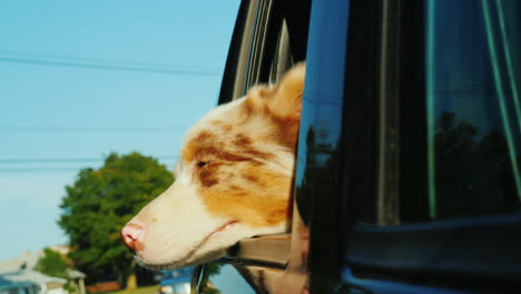 Dog-Looking-Out-of-Moving-Car-Window