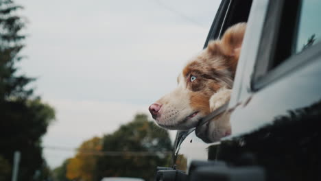 Curious-Dog-Looking-Out-Car-Window