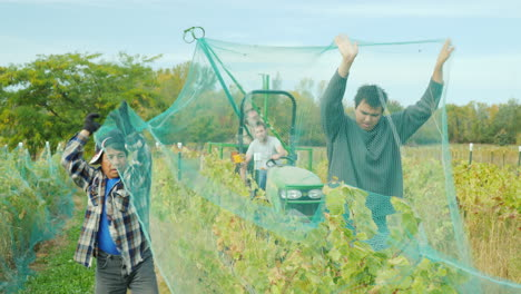 Farmers-Remove-Nets-From-Vineyard-Vines