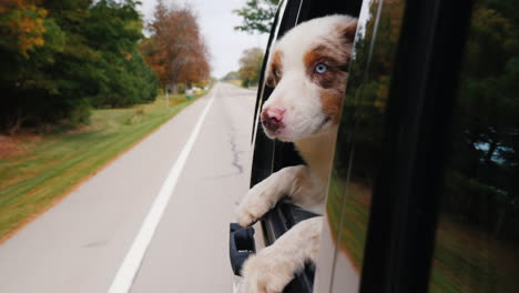 White-and-Brown-Dog-Looks-Out-Car-Window