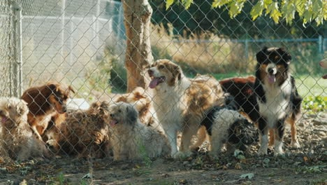 Several-Dogs-Looking-Through-a-Fence