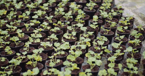 Geranium-Seedlings-In-Greenhouse-Agriculture