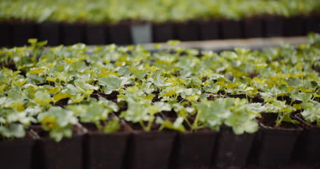 Geranium-Seedlings-In-Greenhouse-Agriculture-1