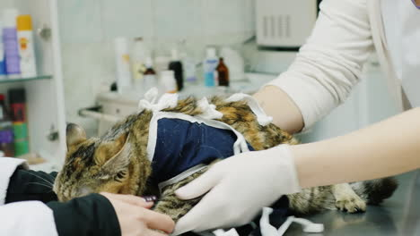The-Doctor-Examines-The-Cat-After-The-Operation-Animal-Care-In-The-Clinic