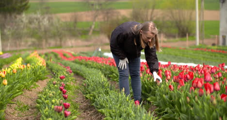 Agriculture-Farmer-Working-At-Tulips-Field-In-Holland