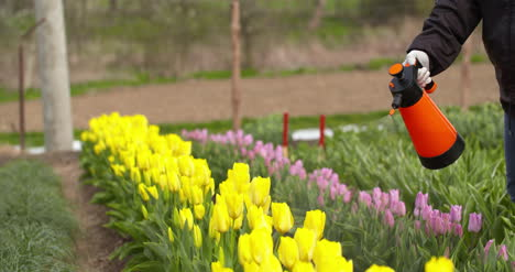 Tulips-Plantation-Flowers-Production-Gardener-Spraying-Water-On-The-Tulips-At-Farm
