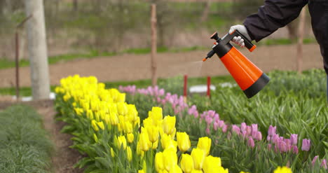 Tulips-Plantation-Flowers-Production-Gardener-Spraying-Water-On-The-Tulips-At-Farm-1