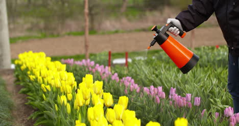 Tulips-Plantation-Flowers-Production-Gardener-Spraying-Water-On-The-Tulips-At-Farm-2