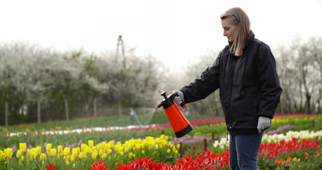 Tulips-Plantation-Flowers-Production-Gardener-Spraying-Water-On-The-Tulips-At-Farm-3