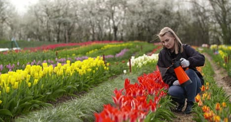 Tulips-Plantation-Flowers-Production-Gardener-Spraying-Water-On-The-Tulips-At-Farm-4