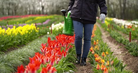 Agriculture-Farmer-Watering-Tulips-At-Tulip-Flower-Plantation-2