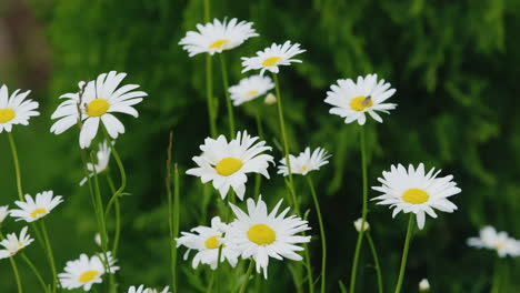 Chamomile-Flowers-Swaying-In-The-Wind-Medicinal-Herbs