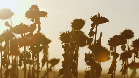 Several-Ripe-Sunflowers-At-Sunset-Ready-For-Harvesting