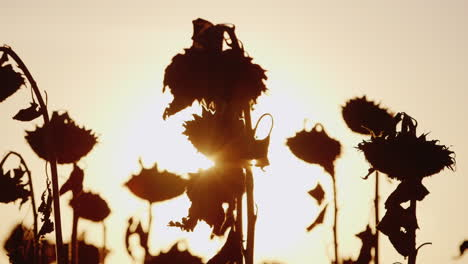 The-Sun-s-Rays-Shine-Through-The-Stalks-Of-Ripe-Sunflower-At-Sunset-Sunflower-Already-Ripe-And-Ready