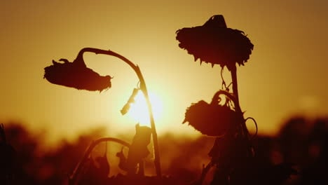 Silhouettes-Sunflower-Swaying-In-The-Breeze-At-Sunset-Ready-To-Harvest