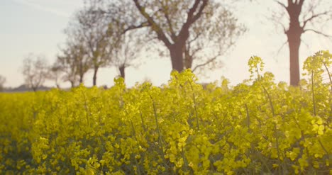 Blooming-Canola-Field-Agricultural-Field-On-Canola-