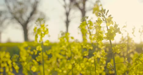 Blooming-Canola-Field-Agricultural-Field-On-Canola-1
