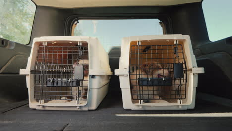 Travel-With-Pets-Two-Puppies-Ride-In-The-Trunk-Of-A-Car-Pet-Transportation