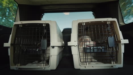 Two-Cages-With-Puppies-In-The-Trunk-Of-An-Suv-Transportation-And-Delivery-Of-Pets