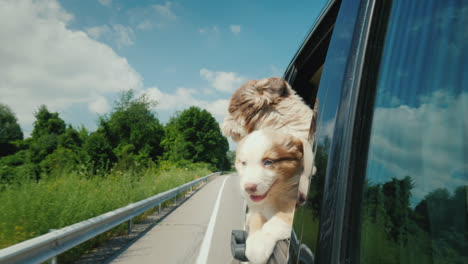 A-Pair-Of-Cute-Puppies-Peeks-Out-Of-A-Car-Window-Pet-Travel