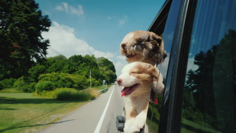 Two-Cute-Pets-Travel-With-The-Owner-Peeking-Out-Of-A-Car-Window-On-A-Suburban-Road
