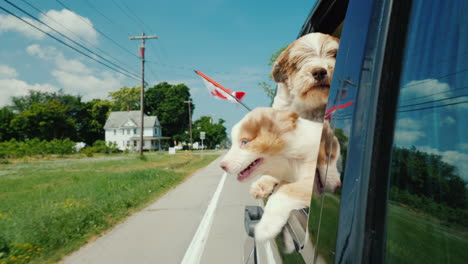 A-Pair-Of-Dogs-With-The-Flag-Of-Canada-Ride-In-A-Car-Peek-Out-The-Window