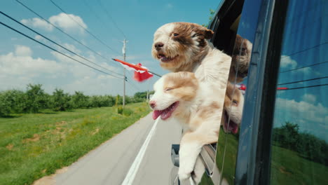 Two-Cute-Dogs-With-The-Flag-Of-Canada-Look-Out-Of-The-Car-Window-Road-Trip-Canada