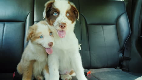 Cute-Puppy-Passengers-Ride-In-The-Backseat-Of-A-Car-Fastened-With-Seat-Belts