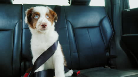 Funny-Puppy-Fastened-With-A-Seat-Belt-In-The-Back-Seat-Of-A-Car-Pet-Travel