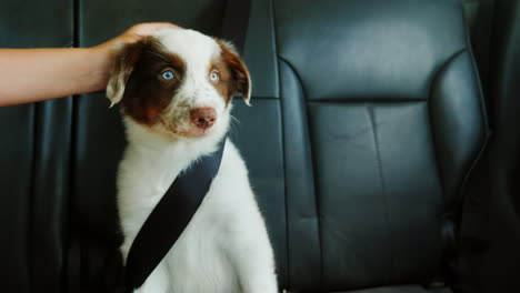 The-Owner-Strokes-A-Puppy-Who-Travels-With-Him-In-A-Car-In-The-Passenger-s-Seat-Seat-Belt-Fastened-P