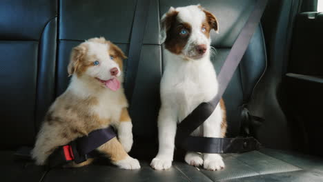 Two-Puppy-Passengers-Traveling-Together-In-The-Back-Of-The-Car