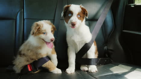 Cute-Puppy-Passengers-Travel-With-The-Owner-In-The-Car-Fastened-By-Seat-Belts