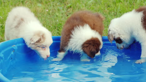 Several-Puppies-Eagerly-Drink-Water-From-A-Small-Pool-In-The-Backyard-Of-The-House