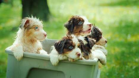 Several-Puppies-Peek-Out-From-The-Basket-After-Swimming